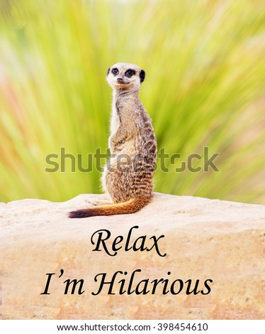 A concept picture of a meerkat suggesting that all is well because he is hilarious. - stock photo