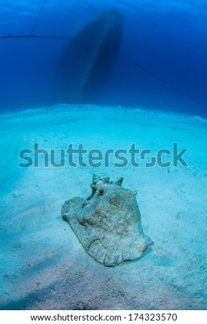 A conch lays on the sandy seafloor in front of a massive shipwreck, the Kittewake, in Grand Cayman. This ship was sunk intentionally to act as an artificial reef and as an attraction for scuba divers. - stock photo