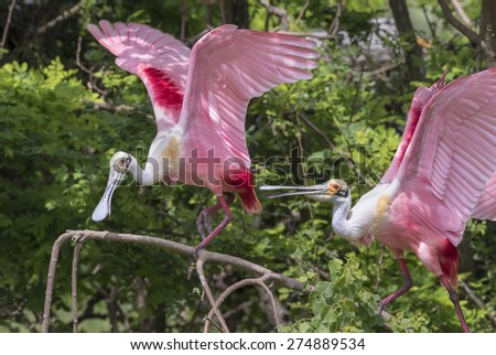 A conflict between roseate spoonbills (Platalea ajaja) at rookery, High Island, Texas, USA. - stock photo