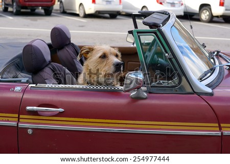 A Convertible Car with a Dog Waiting for His Owner                               - stock photo