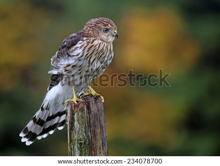 A Cooper's hawk (Accipiter cooperii) perched on a post.  - stock photo