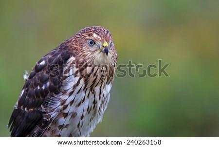 A Cooper's hawk (Accipiter cooperii) profile shot.  - stock photo