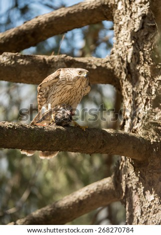 A cooper's hawk feeding on a small bird while perched in an evergreen tree. - stock photo