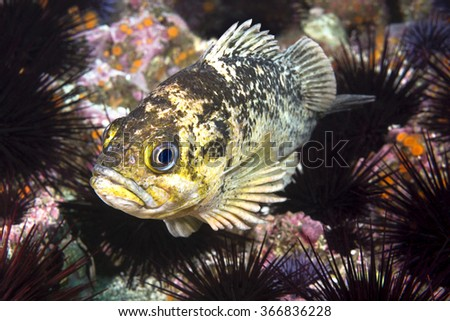 A copper rockfish in California's Channel Islands rests on a bed of purple sea urchins that engulf a reef.  - stock photo