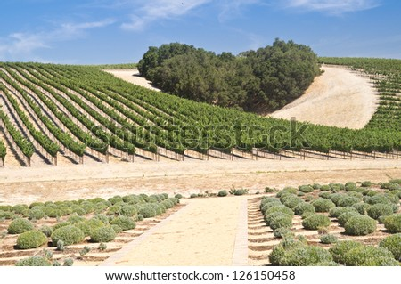A copse of trees forms a heart shape on the hills of scenic California vineyard growing a variety of fine wine grapes - stock photo