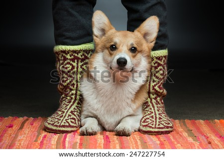 A corgi puppy laying between its owner's feet - stock photo