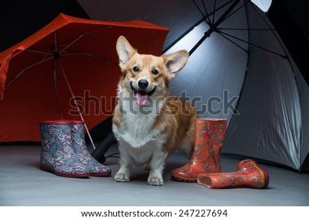 A corgi puppy standing under two umbrellas - stock photo
