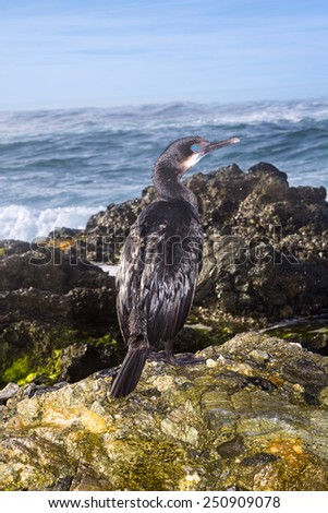 A cormorant seabird rests on an oceanfront reef during an early morning sunrise.  - stock photo