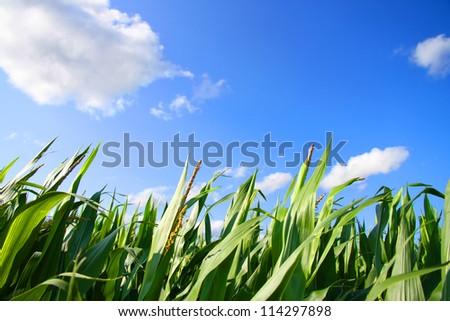 A Corn field under a blue sky. - stock photo