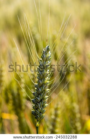 a corn field with barley ready for harvest. symbolic photo for agriculture and healthy eating. - stock photo