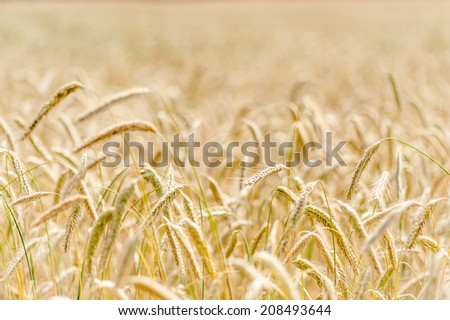 A corn field with wheat plants in Denmark  - stock photo