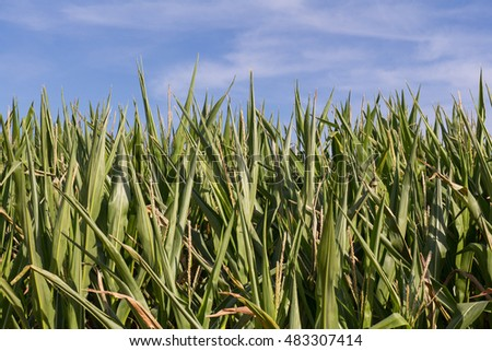 a cornfield in bavaria in summer