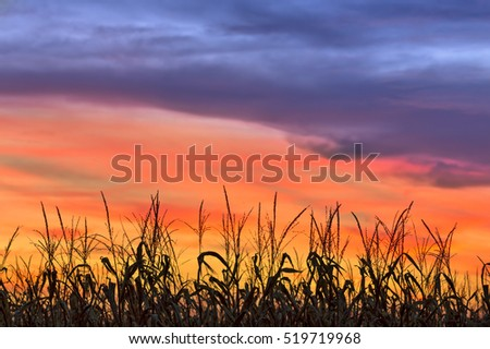 A cornfield is silhouetted by an amazing, colorful sunset sky in autumn.