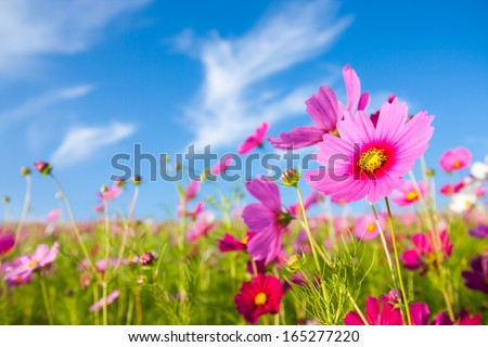 A cosmos flower face to sunrise in field