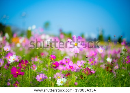 A cosmos flower face to sunrise in field - stock photo