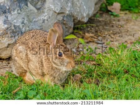 A Cottontail Rabbit sitting beside a boulder.