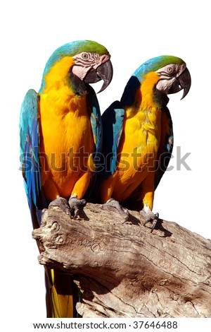 A couple of beautiful blue and yellow macaw parrots - ara ararauna - stock photo