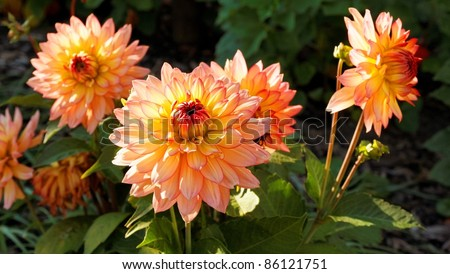 a couple of beautiful dahlia flowers autumn flowers