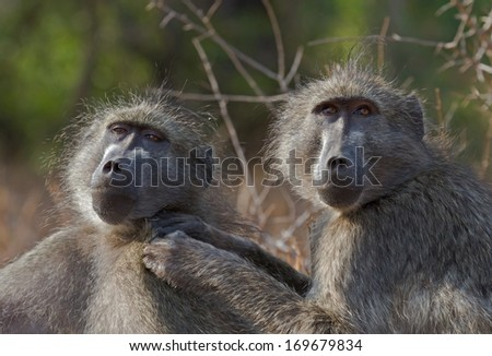 A couple of Chacma Baboons engaged in mutual grooming in the African bush.