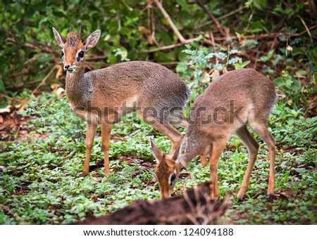 A couple of dik-dik antelopes, in Africa. Lake Manyara national park, Tanzania - stock photo