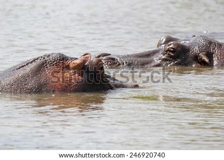 A couple of hippos (Hippopotamus amphibius) swimming in a lake in Serengeti National Park, Tanzania - stock photo