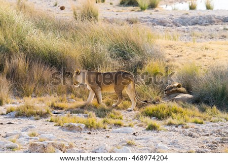 A couple of lions in tall grass. Etosha national park, Namibia.