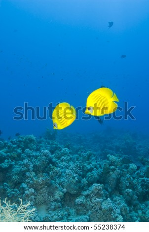 A couple of masked Butterflyfish (Chaetodon semilarvatus) against a blue background. Ras Katy, Sharm el Sheikh, Red Sea, Egypt. - stock photo