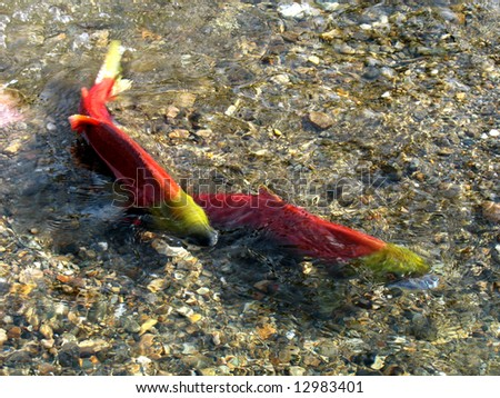 a couple of  sockeye are mating, Adams River - stock photo