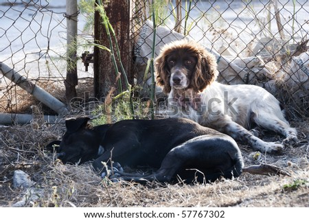 A couple of stray dogs, one looking up with curiosity, and another, a maltese hunting breed, reclined and sleeping in front - stock photo
