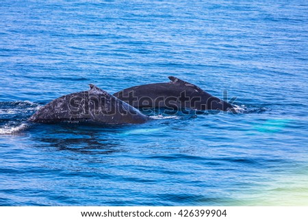 A couple of whales in Provincetown, cape Cod, USA