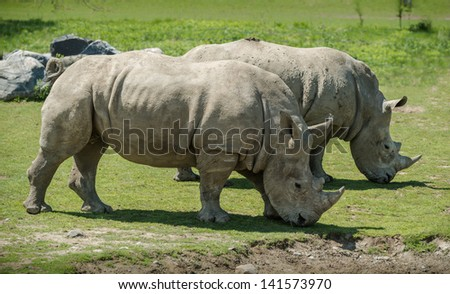 A couple of white Rhinoceros Grazing together. It is a beautiful sunny spring day.