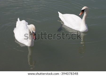 a couple of white swans swimming on the lake