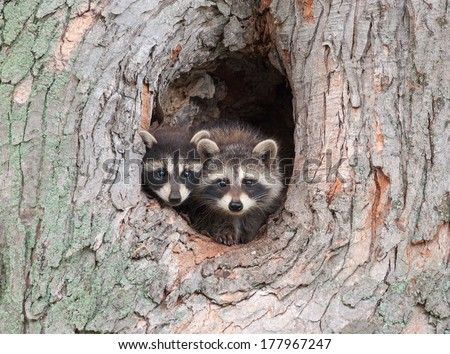 A couple of young Raccoons poke their heads out of a hole in a tree, nervous about an approaching storm.