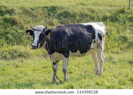 A cow grazes in a meadow