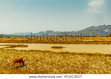A cow grazes with mountains in the distance in rural Laos