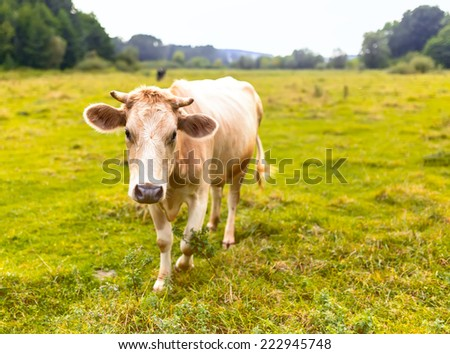 A cow grazing in a meadow.