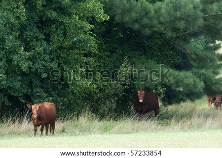 A cow grazing in a pasture of grass