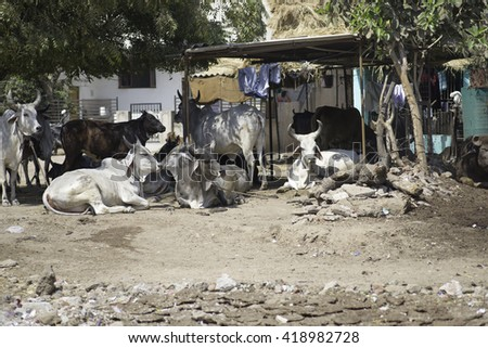 a cow in the center of the city Ahmadabad of india - stock photo