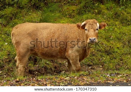 A cow is looking at people while eating grass.