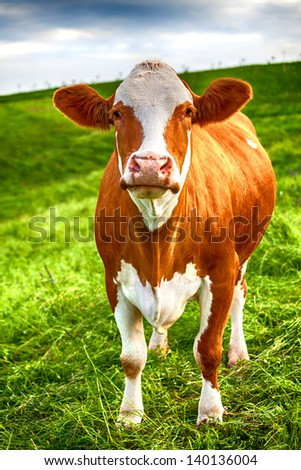 A cow is standing on a green meadow and is looking in the area - stock photo