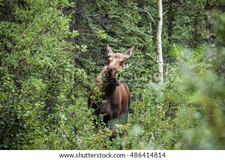 A cow moose eating leave in Denali National Park, Alaska