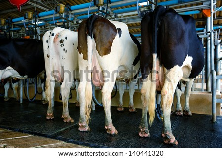 A cow prepare for milking in factory - stock photo