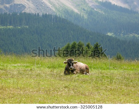 a cow sits on the grass with Alps in the background - stock photo