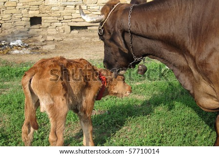 A cow washes a calf with her tong - stock photo