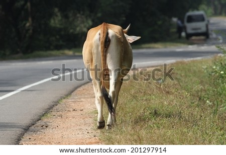 A cow wondering along the side of the main road near Dambulla, Sri Lanka which is a common sight.