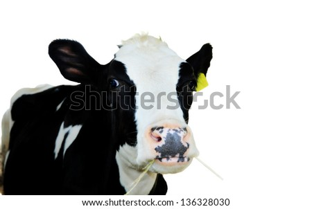 A cow 5 years old, standing against white background - stock photo