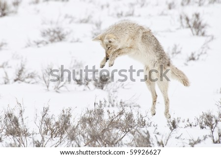 A coyote pounces on a gopher hidden beneath the snow - stock photo