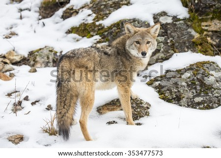 A Coyote searches for a meal in the snowy mountains of Montana.