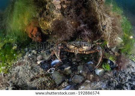 A crab peers out from a rocky hiding spot in a shallow channel in Cape Cod, Massachusetts. The waters in this region support large numbers of crustaceans. - stock photo