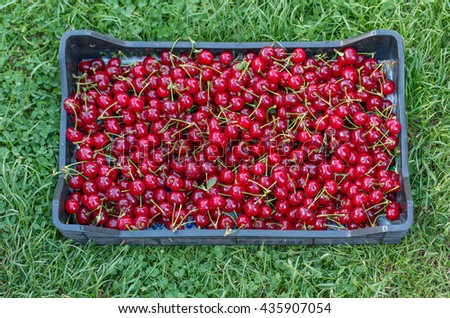 A Crate of fresh picked Cherries over green grass, Horizontal Shot